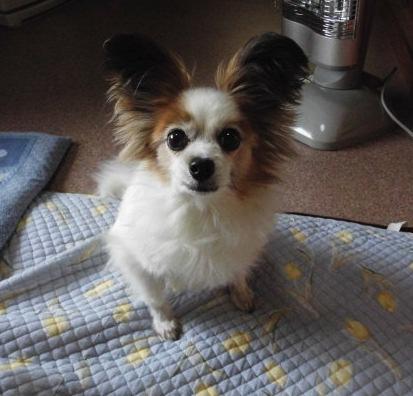 愛犬のパピヨン画像