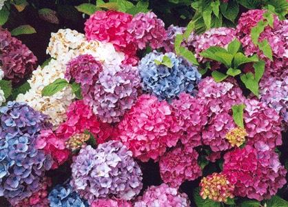 紫陽花(あじさい,アジサイ)の色ん違い